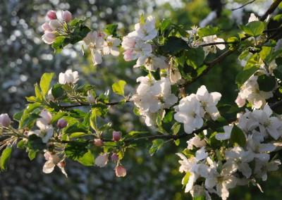 fleurs-de-pommier parc Bol Vert